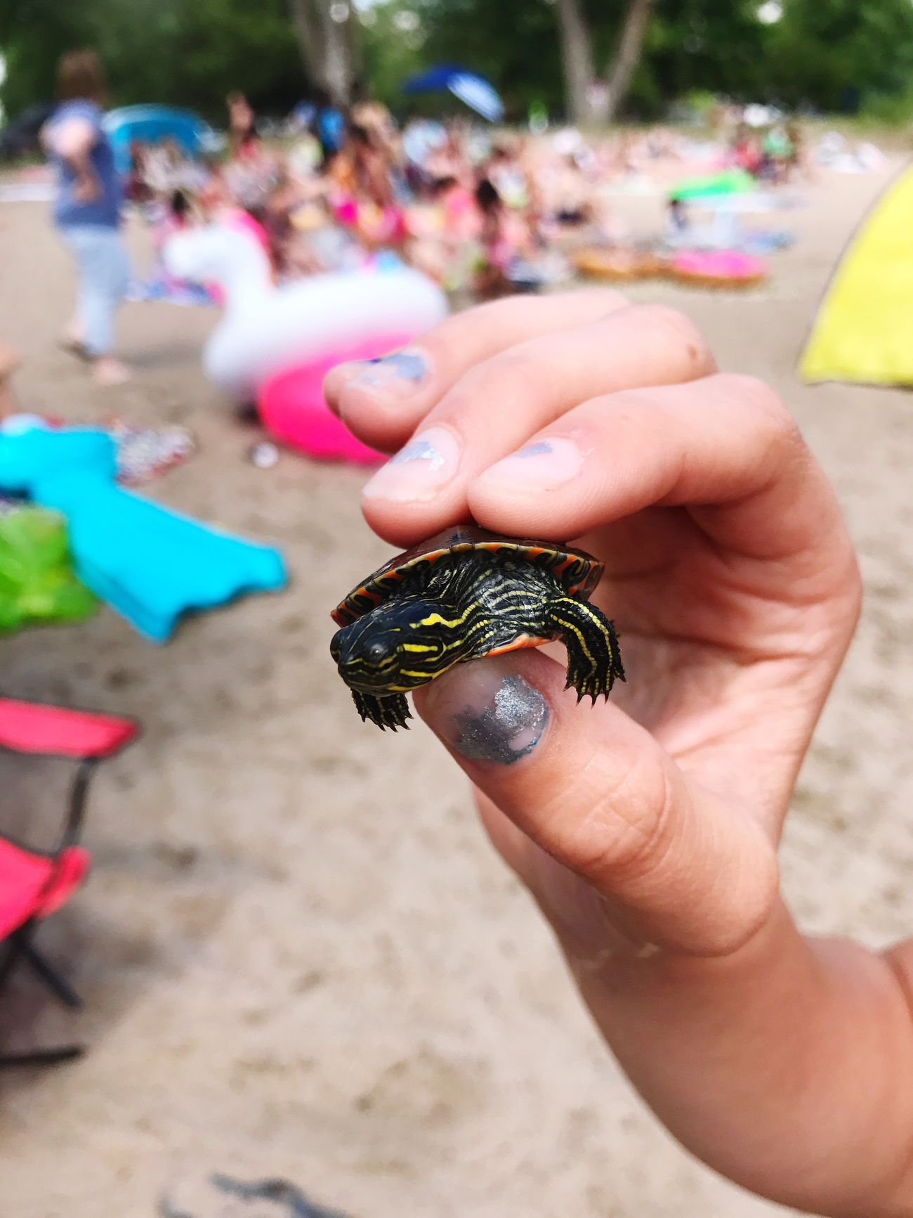 I found a baby painted turtle. I was tempted to keep it but I put it back in the water. He was so cute! Human Hand Holding Animals In The Wild Outdoors One Animal Close-up Beach Baby Turtle Painted Turtle