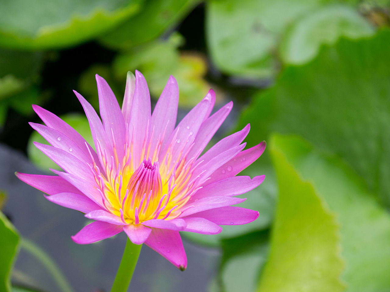 Close-up Blooming Purple Lotus in Pond Beauty In Nature Blooming Close-up Day Flower Flower Head Fragility Freshness Growth Leaf Lotus Lotus Water Lily Love Nature No People Outdoors Petal Pink Color Plant