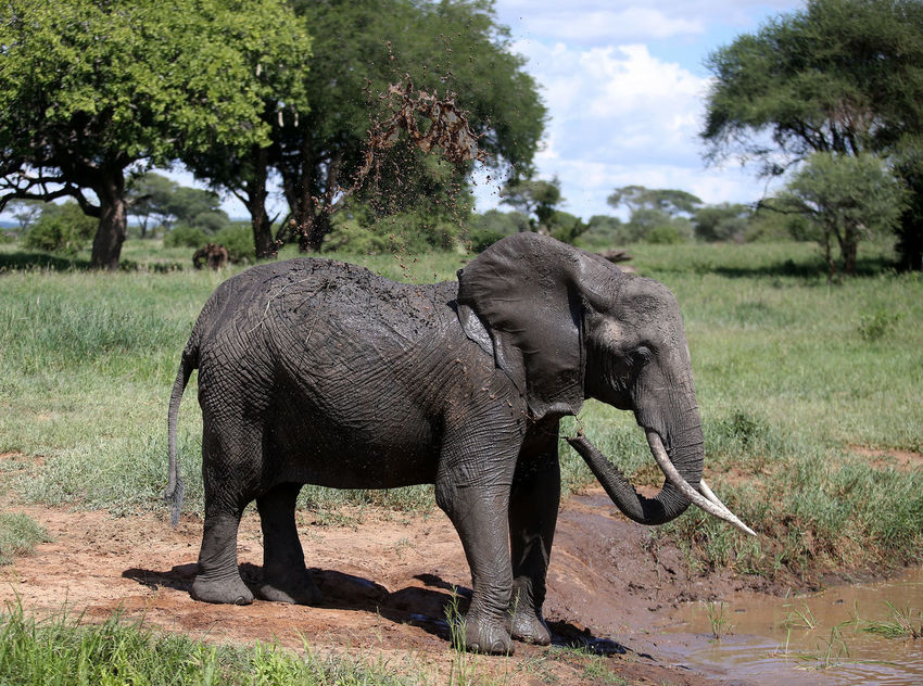 African Elephant Animal Themes Animal Trunk Animal Wildlife Animals In The Wild Beauty In Nature Day Elephant Field Full Length Grass Mammal Nature No People One Animal Outdoors Safari Animals Tanzania Tree Tusk Water