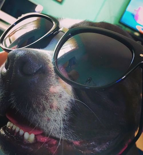 Boston Terrier Dog Love Coolkid Sunglasses Smile Boston Mypup