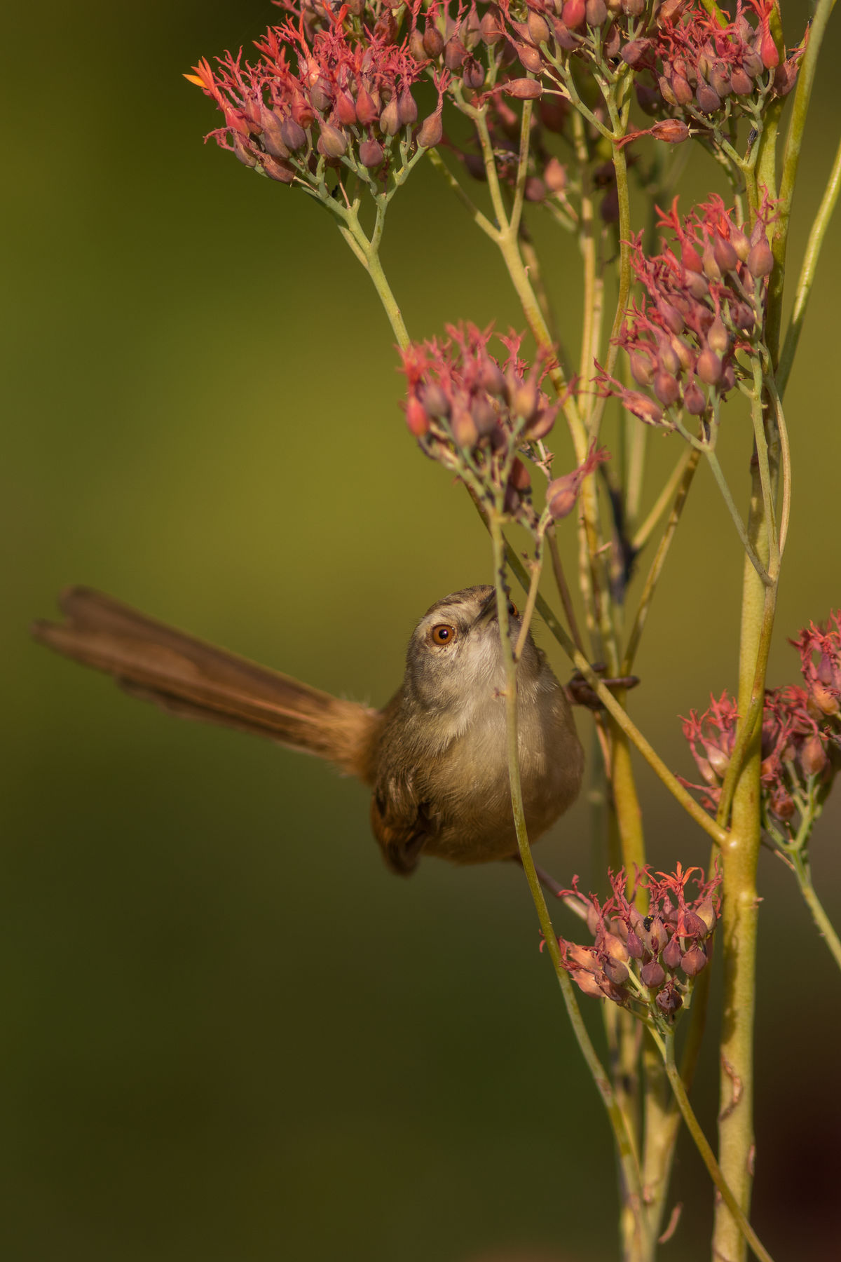 Tawny flanked prinia on pink wild flowers Animal Themes Animals In The Wild Beauty In Nature Close-up Day Flower Flower Head Fragility Freshness Growth Hummingbird Mammal Nature No People One Animal Outdoors Plant Pollination Prinia Tawny Flanked Prinia