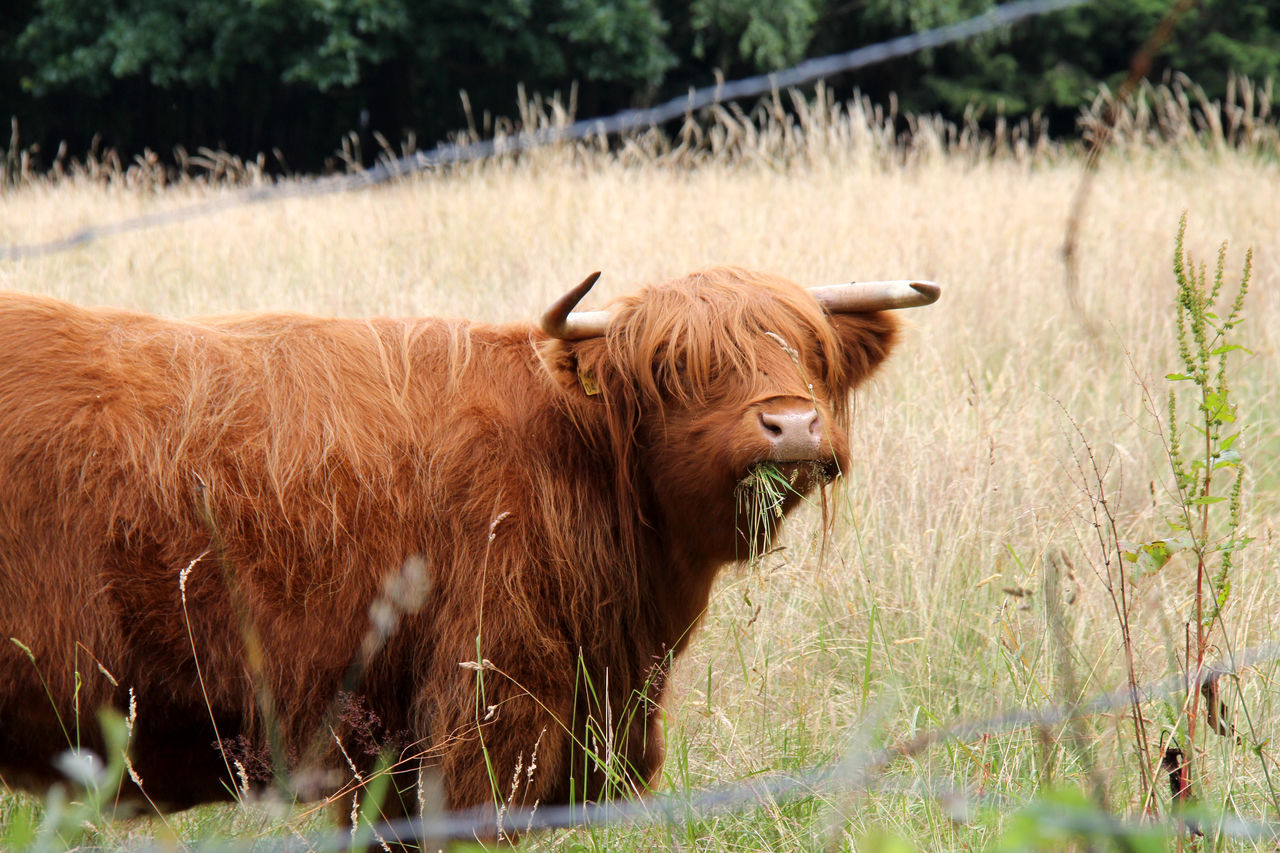 Animal Themes Brown Bull Domestic Animals Domestic Cattle Fences Field Fressend Genügsam Grass Grassland Grazing Herbivorous Highland Cattle Hochlandrinder Kyloe Livestock Mammal Rind Schottisches Hochlandrind Schottischeshochlandrind Standing Sweet Säugetier