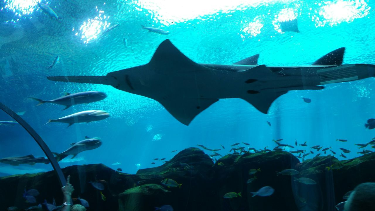 Beautiful stock photos of shark, Animal Themes, Animals In The Wild, Blue, Georgia Aquarium