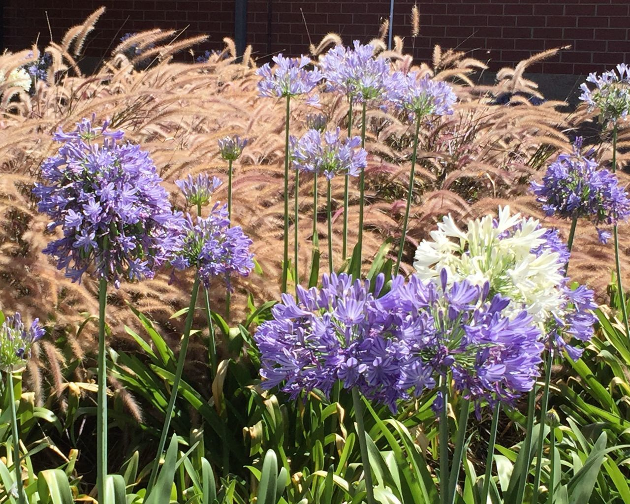 Agapanthus and Ornamental Grasses EyeEm Nature Lover Nature_collection Taking Photos Leaves Purple Flower Green Purple Plant Long Stems White Flowers Flowers