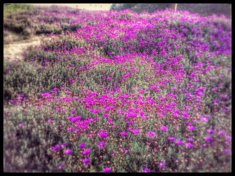 Magenta Flower Fuschia Flower Fuschia Spring Flowers Field Of Flowers Wild Pink Flowers Fresh Blooms Flower Patch Raw Beauty Natures Canvas