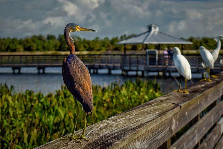 Nature Photography Bird Photography Blue Heron Nature Herons NIKON D5300 Naturephotography Grassy Waters