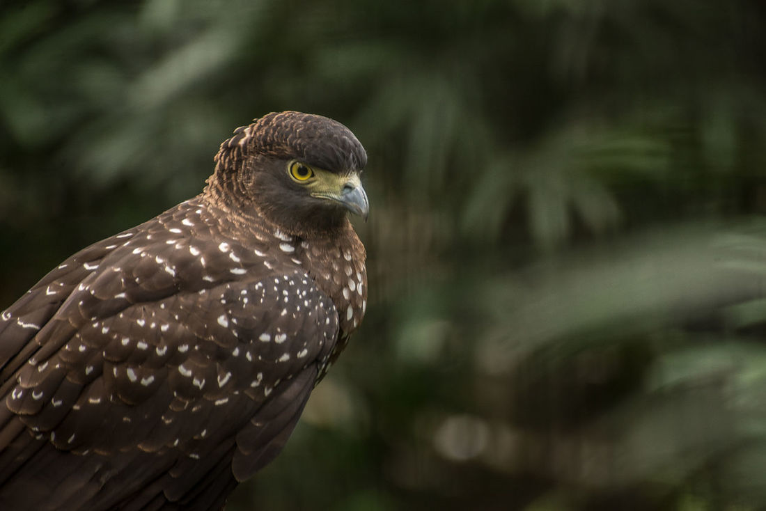Animal Themes Animal Wildlife Animals In The Wild Bird Bird Of Prey Close-up Day Eagle Eagles Eyeem Philippines Nature No People One Animal Outdoors Perching Philippine Eagle Serpent Eagle White Bellied Eagle