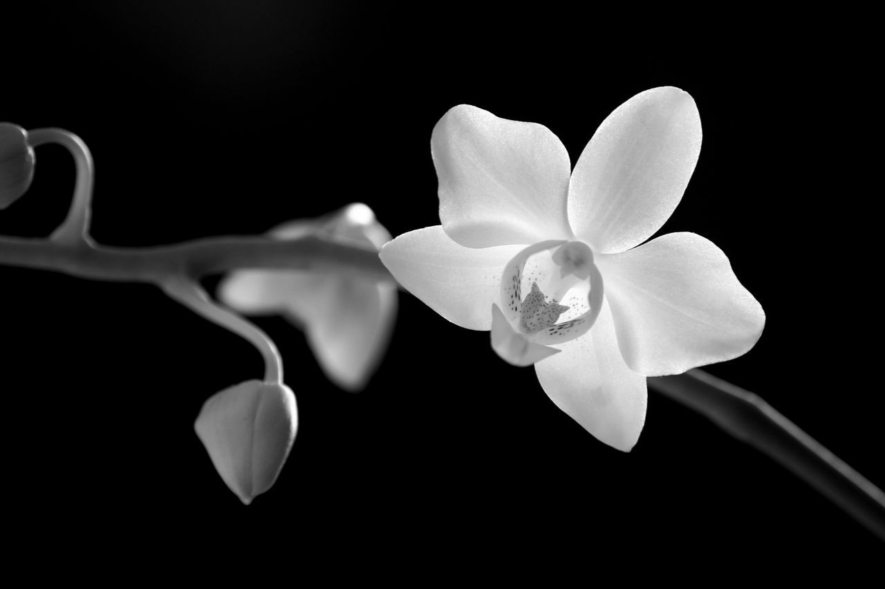 flower, petal, nature, beauty in nature, no people, flower head, fragility, close-up, freshness, black background, outdoors, day