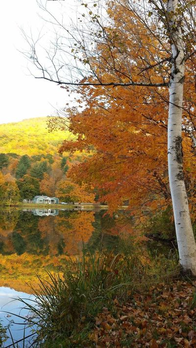 Good Morning Golden Hour Unfiltered Unaltered Unmotified True Colors Peak Fall Colors On The Pond Water Reflections Placid  Natures Beauty White River Birch Green Mountain State
