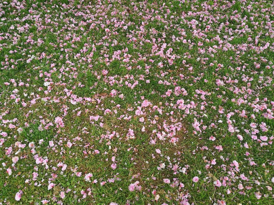 Pink Blossoms Fallen Blossoms Fallen Flowers Blossoms  Grass Green And Pink Pink And Green Pink Flowers Green Grass Outdoors Full Frame Nature Flower Green Color Backgrounds Day Growth Freshness Close-up Flower Head No People Flower Heads Spring Springtime Spring Flowers P9 Huawei