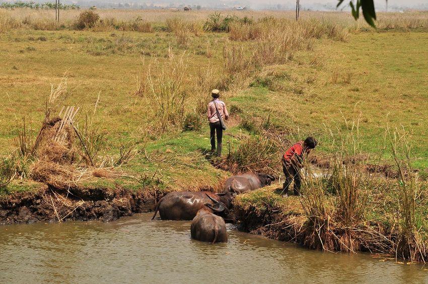 Photopackers Oksk Inle Lake Myanmar Nyaungshwe Water Buffalo