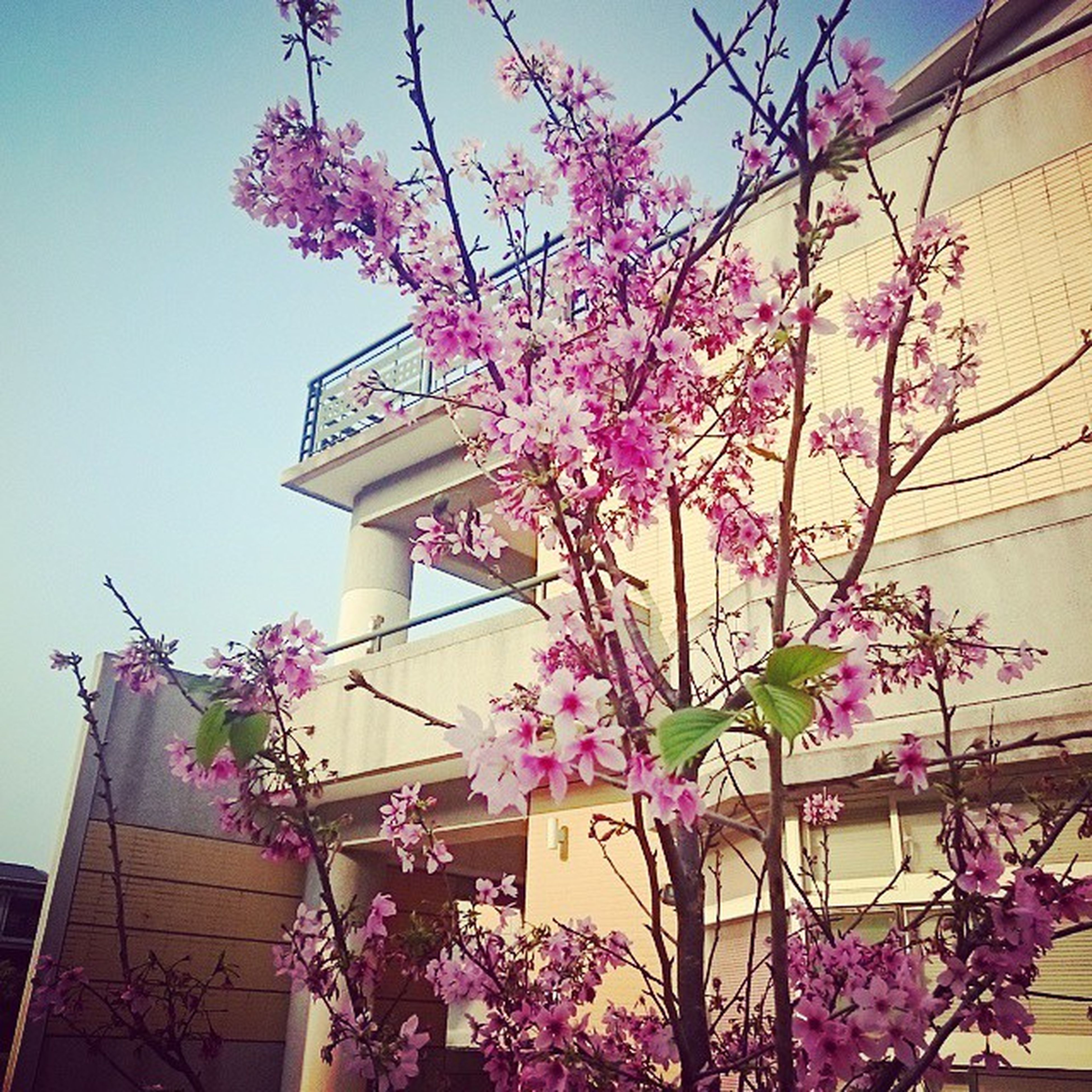 flower, low angle view, building exterior, built structure, architecture, pink color, branch, freshness, tree, fragility, growth, blossom, clear sky, in bloom, nature, sky, beauty in nature, blooming, house, day