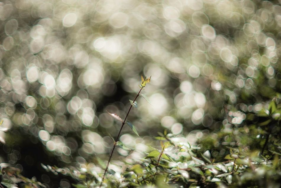 Plant Isolation Light Sunlight Bokeh Bokeh Photography Bokeh Lights Circle Of Confusion Bokeh Balls Sea Of Light Fragility EyeEm Best Shots EyeEmBestPics EyeEm Best Edits EyeEm Nature Lover