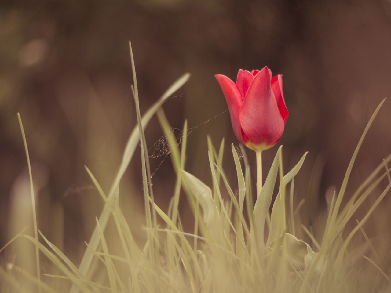 Beauty In Nature Close-up Day Flower Flower Head Fragility Freshness Grass Growth Nature No People Outdoors Petal Plant Tulip