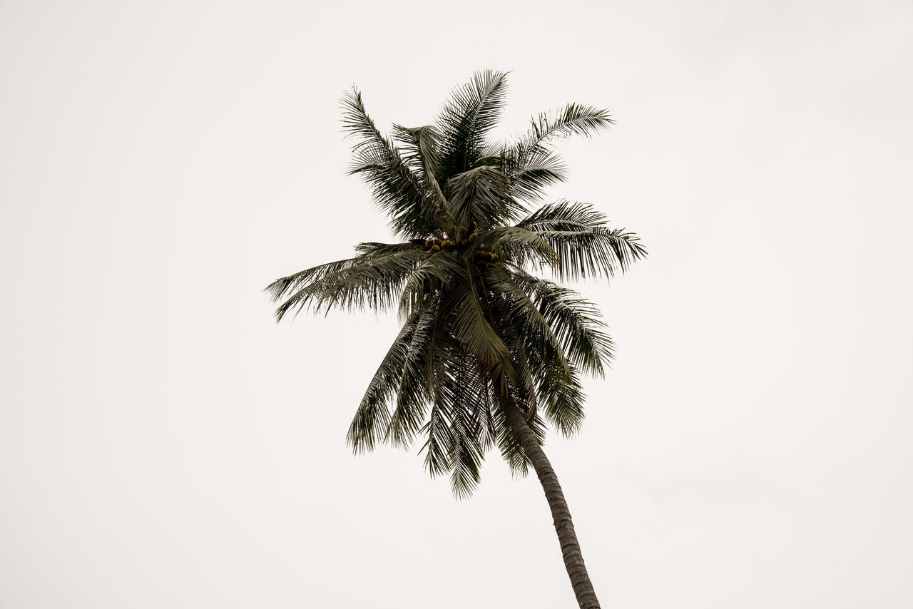palm tree, clear sky, low angle view, no people, tree, nature, white background, outdoors, day, studio shot, sky, beauty in nature, close-up