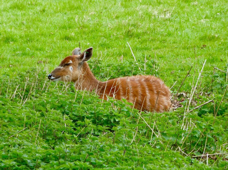 Deer Whipsnade Zoo Grass Animal Themes Nature Green Color Field One Animal Mammal No People Outdoors Day Growth Animals In The Wild