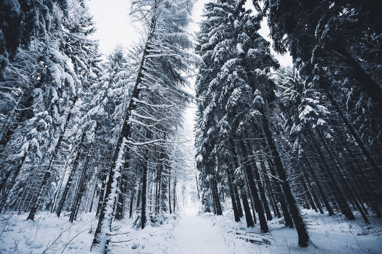 Winter forest walk. Saxony Winter Tree Snow Cold Temperature Forest Nature White Color Pine Woodland Beauty In Nature Tranquility Frozen Tranquil Scene Landscape Scenics Outdoors No People Snowing Mountain Day Sky