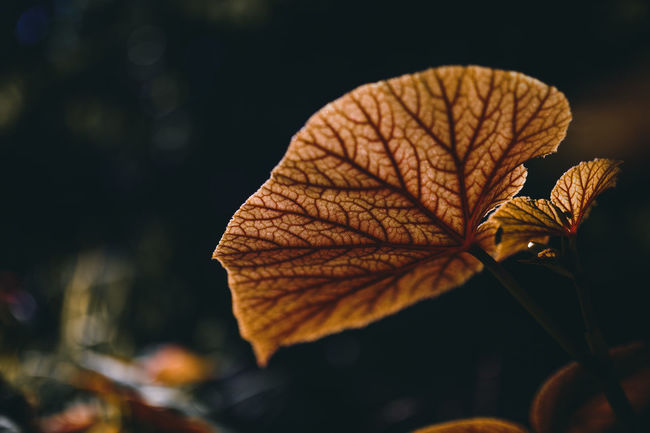 Against The Light Autumn Beauty In Nature Botany Change Close-up Contre-jour Contre-jour Shot Focus On Foreground Fragility Growth Leaf Leaf Vein Leaves Natural Pattern Nature No People Orange Color Outdoors Plant Season  Selective Focus Tranquility