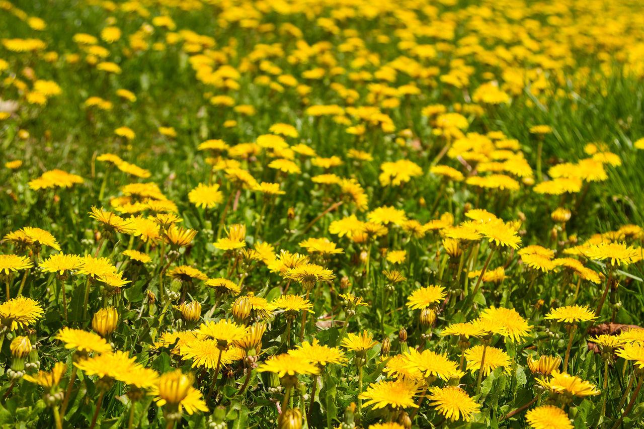 Dandelions in the grass Dandelion Dandelion Blooms Dandelion Close-up Dandelion Lawn Wee Dandelion Seeds Dandelionfluff Dandelions Dandy Field Of Grass Flowers Grass Grass And Dandel Grassy Lawn Weeds