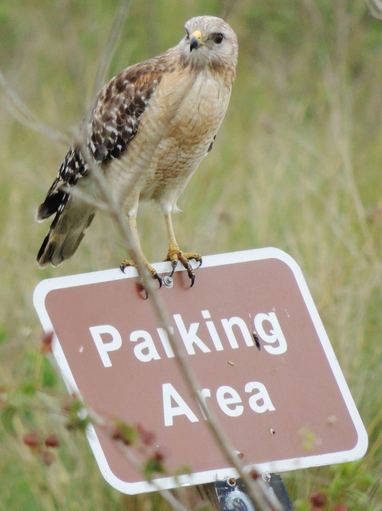 Beautiful stock photos of hawks, Animal Themes, Animal Wildlife, Animals In The Wild, Bird