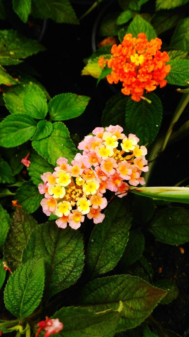 Mobile Photography Htc One M8s Colorful Flowers