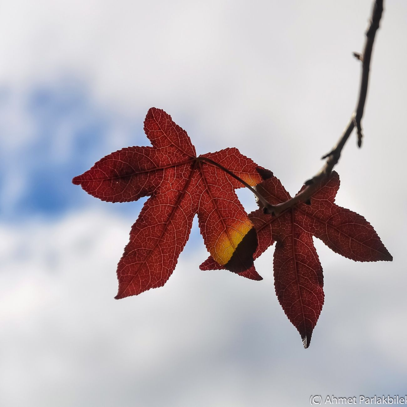 Nature Change Focus On Foreground Autumn Leaf Sky Outdoors Growth No People Close-up Day Leaves Beauty In Nature Maple Leaf Tree Low Angle View Cloud - Sky Maple