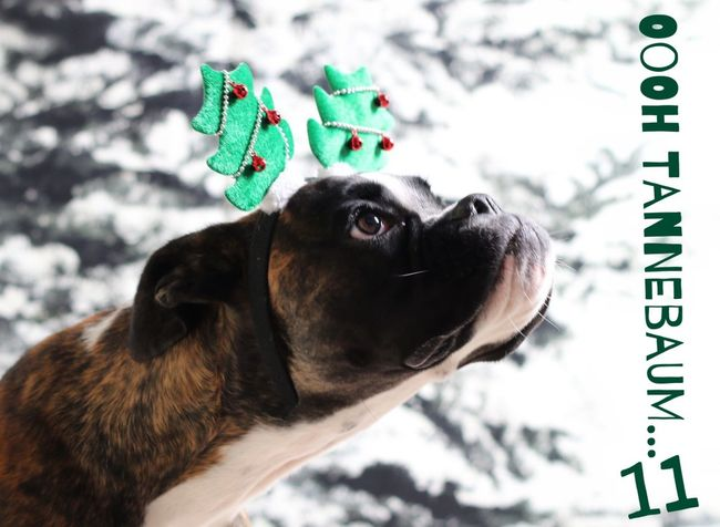 Türchen 11 Juno's Adventskalender Juno's World For My Friends That Connect Boxer Dogs Boxer Hello World