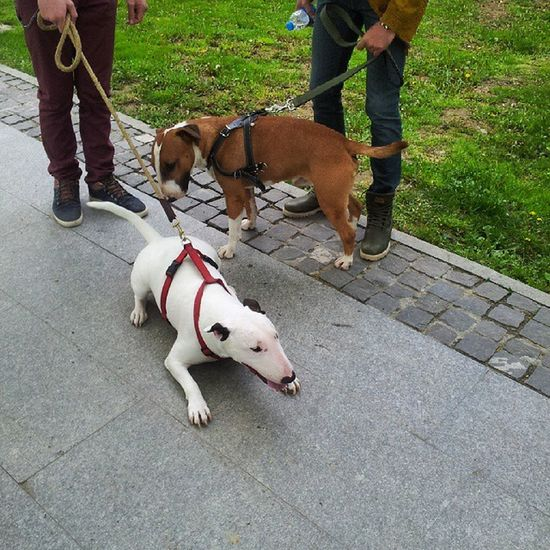 Bullterrierlove Bullterrier Meeting Female male happy funny 1may we all love nature