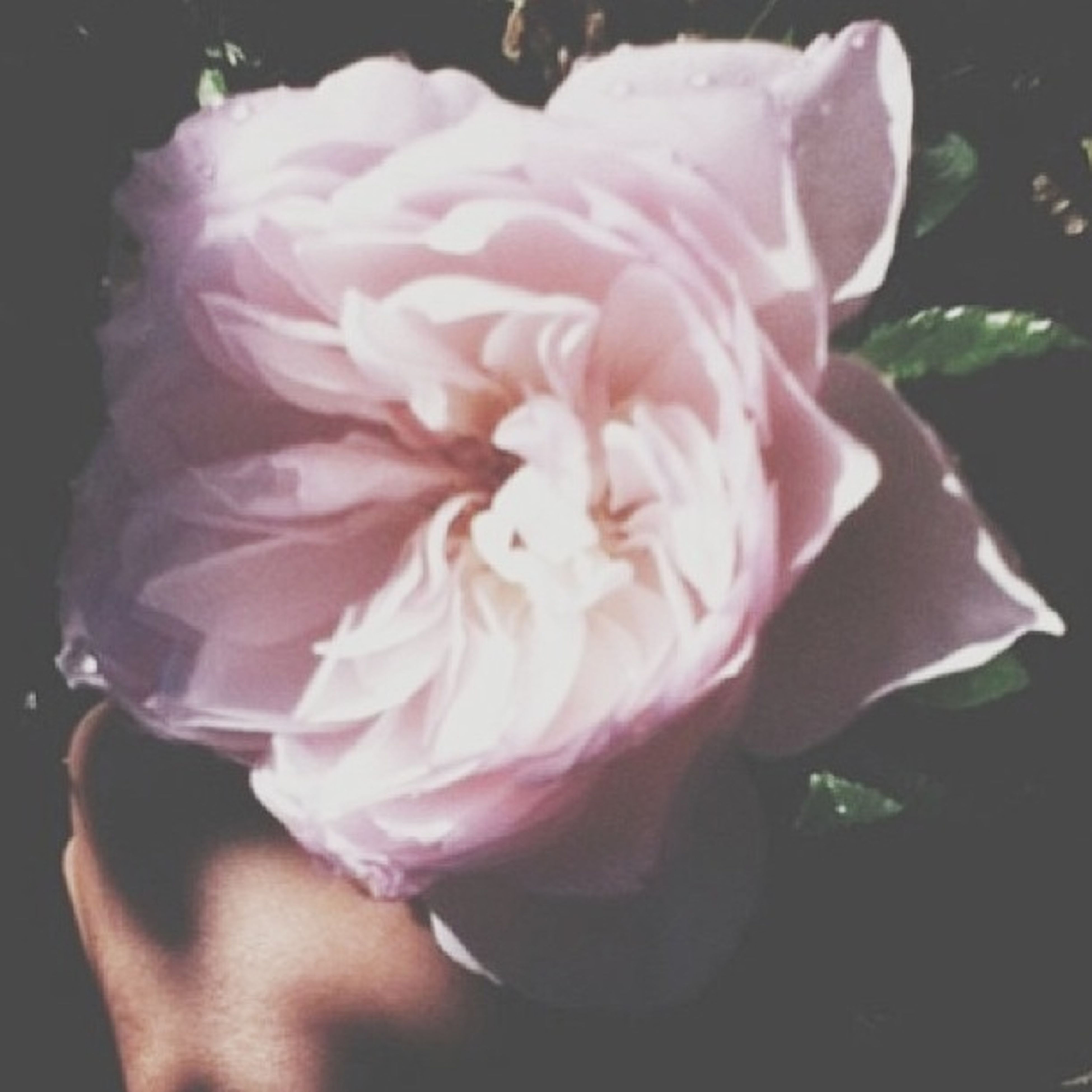 flower, petal, freshness, flower head, rose - flower, fragility, pink color, beauty in nature, close-up, single flower, rose, nature, blooming, water, high angle view, pink, white color, indoors, growth, in bloom
