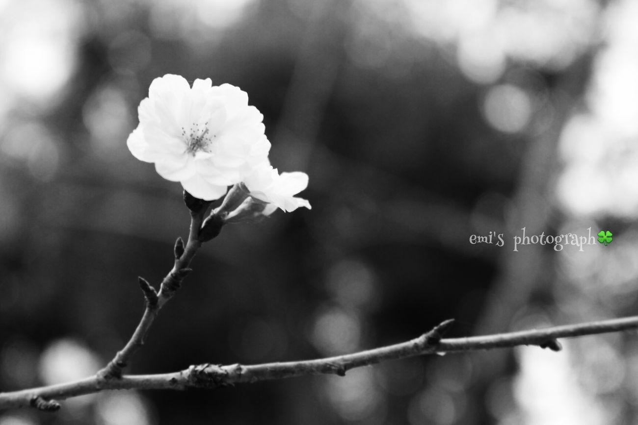 Enjoying Life EyeEm Flower EyeEm Nature Lover Holiday Flower 桜 Canon Eoskissx7i Monochrome in 姫路 この時期に桜…🌸初めてみた。かわいく咲いてた。
