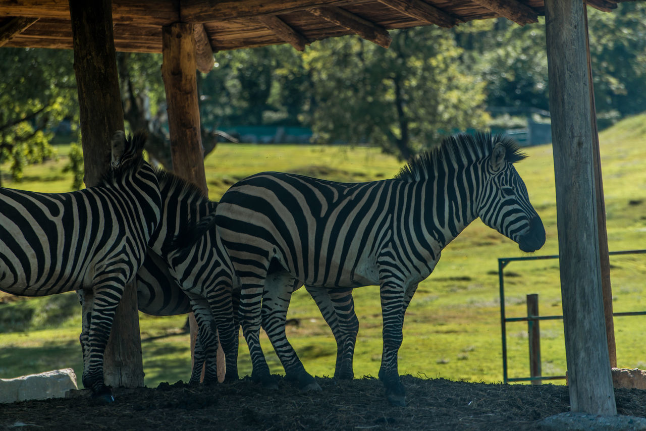 zebras in a natural park Animal Markings Animal Themes Beauty In Nature Black Color Day Field Focus On Foreground Grass Grassy Grazing Herbivorous Landscape Mammal Nature No People Outdoors Safari Safari Animals Safari Park Striped Tree Trunk Zebra Zoo