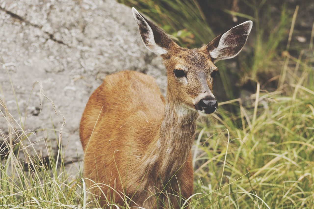 Beautiful stock photos of deer, Animal Themes, Animal Wildlife, Animals In The Wild, Brown
