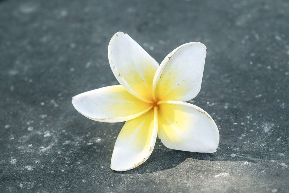 Beauty In Nature Close-up Day Flower Flower Head Fragility Frangipani Freshness High Angle View Nature No People Outdoors Petal Yellow
