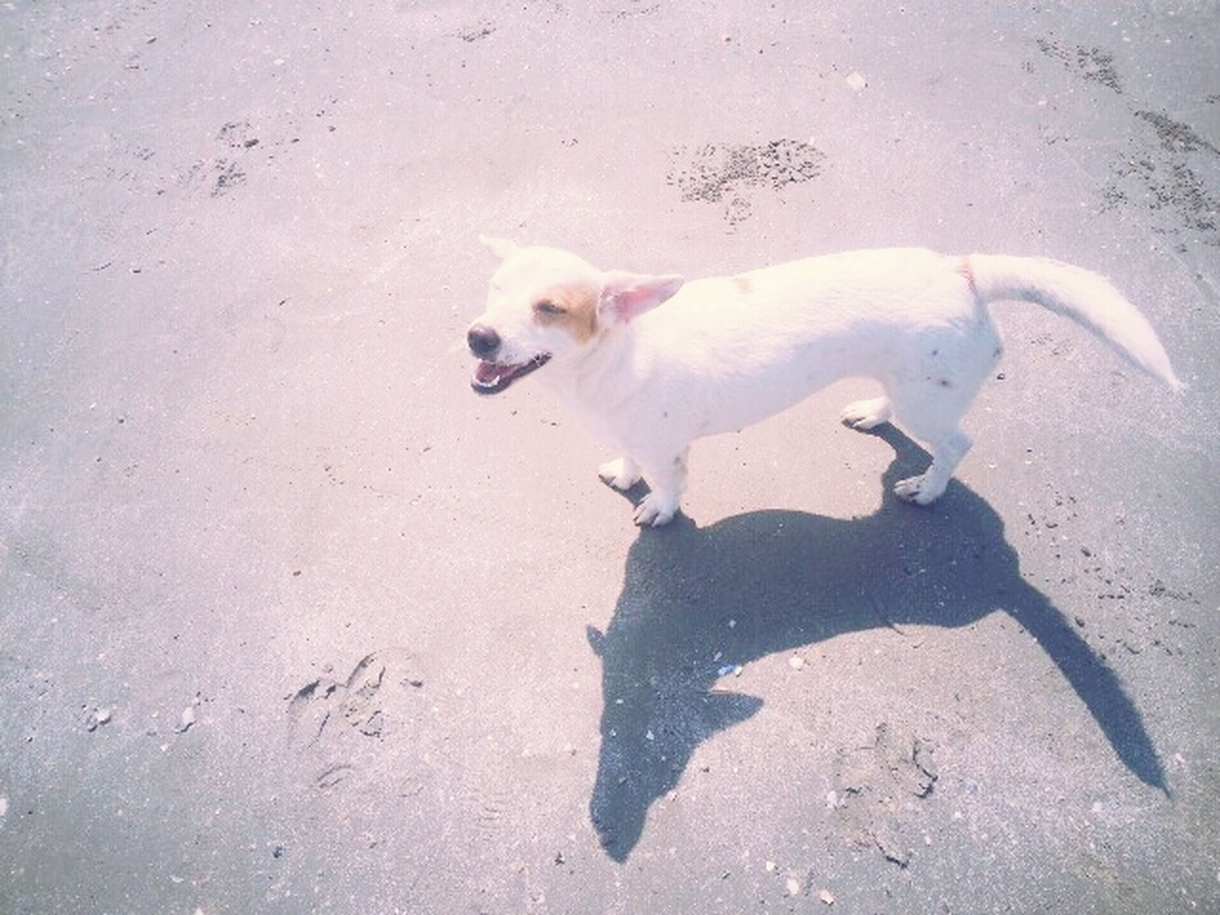 animal themes, one animal, dog, pets, domestic animals, high angle view, full length, mammal, sand, shadow, sunlight, street, day, playful, outdoors, playing, white color, bird, beach, no people