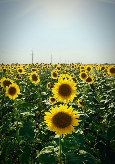 Yellow Nature Flower Beauty In Nature Plant Sunflower Clear Sky No People Flower Head Sky поле подсолнух небо Природа