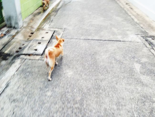 Patroling! Running Dog Brow Dog Corky Bangkok Thailand Out Focus On The Street Thai Street Dog