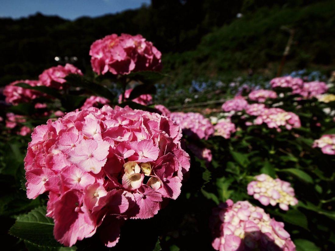 2017.06.17 愛知県 蒲郡市 形原温泉あじさいの里 アジサイ祭り 1週間かけて編集したり纏めたりしたものの大半を、昨日 吹っ飛ばしました。 30枚しか残っておらず、うち1枚は紫陽花じゃないし… ちなみに、撮影枚数は600枚超。 29枚の中から、ここには5枚upします。残り4枚は夜になります。
