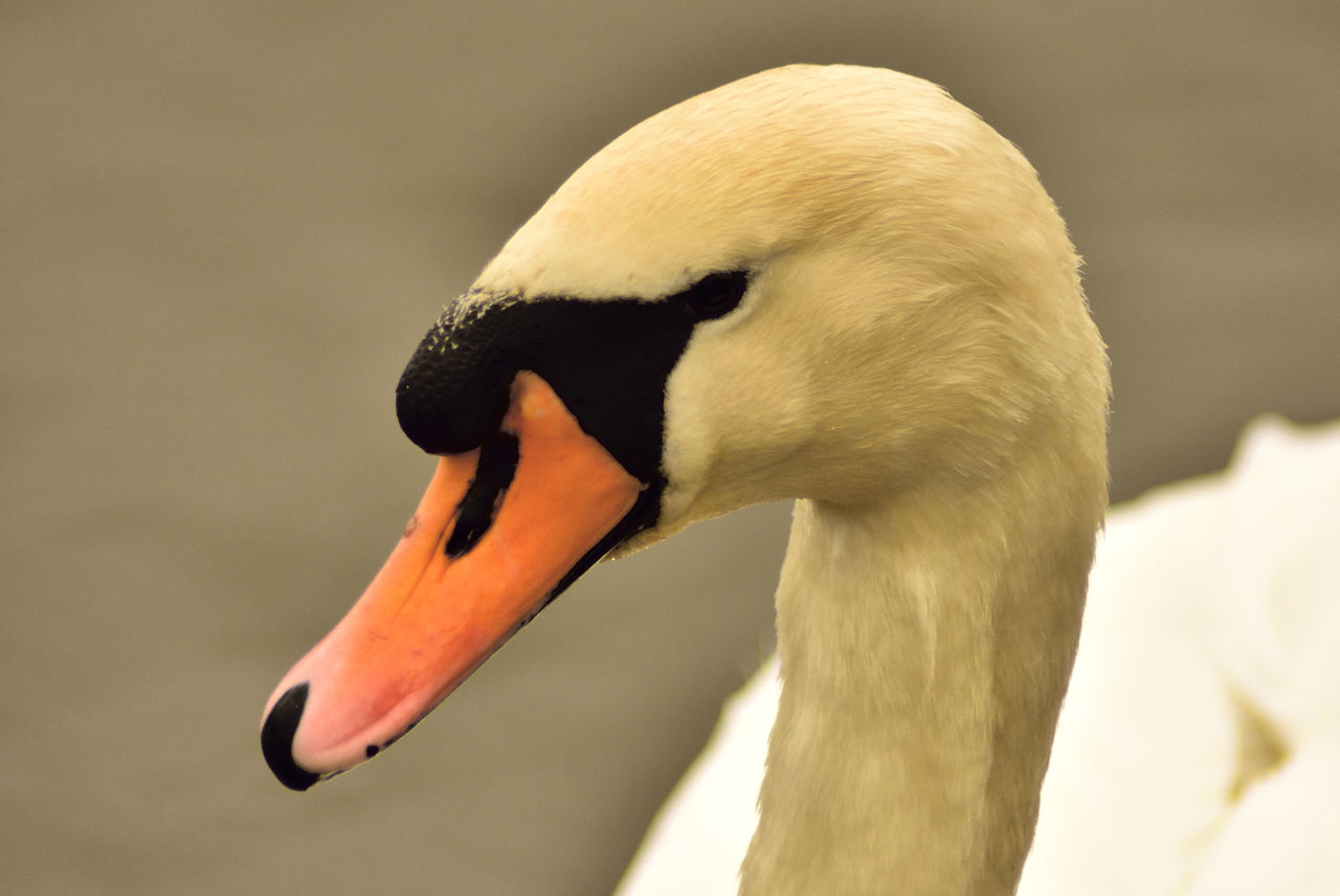Close-Up Of A Swan Against Blurred Background