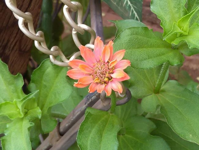 Flower Leaf Nature Growth Plant Green Color Freshness Beauty In Nature Fragility Close-up Day Flower Head No People Outdoors Multi Colored Zinnias In Bl Zinnia Plant Nature Zinniaflower Zinnias Zinnia  Zinnias, Flowers Yellow Zinnia Flower Beauty Petal