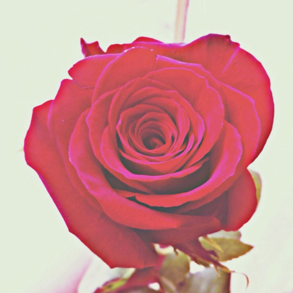 Rose. Life~