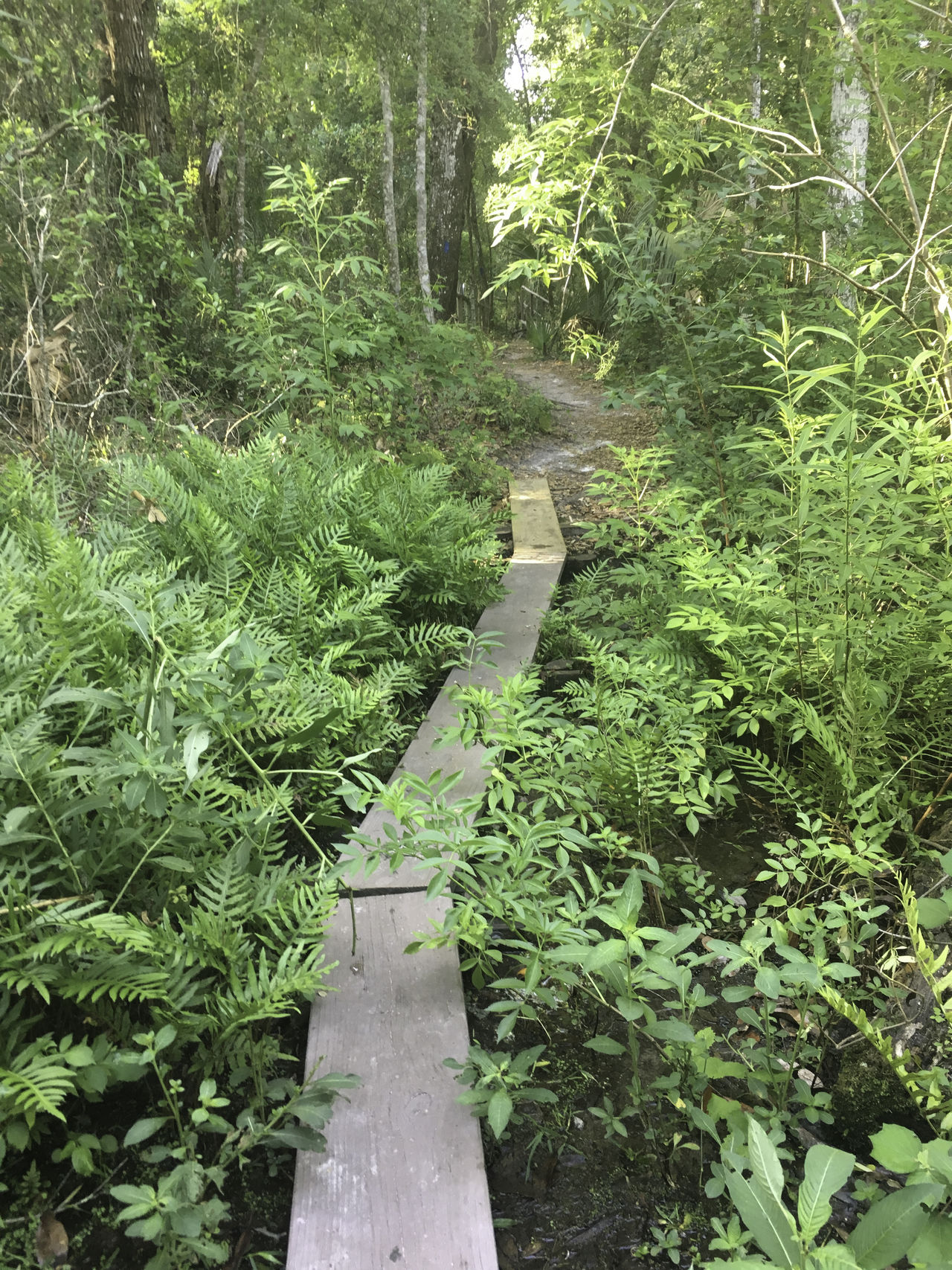 path through woods Board Boardwalk Forest Green Color Leading Lines LINE Nature Outdoors Path Pathway Plant Single File Trail