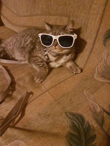 Animal British Shorthair Britishcat Britishshorthair Cat Cats Close-up Gangsters Paradise Lazy Pupuka Sunglasses