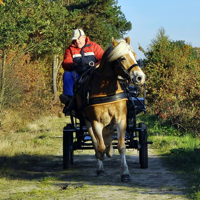 Trotting in the De Groote Peel National Park Woods Horse Horse-drawn Carriage Autumn Colour Of Life