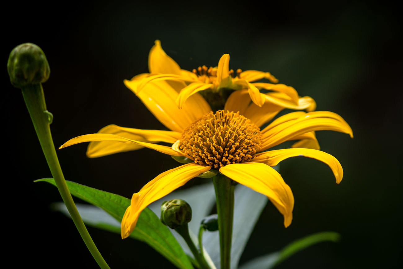 Beauty In Nature Black Background Blooming Close-up Day Flower Flower Head Fragility Freshness Growth Nature No People Outdoors Petal Plant Pollen Yellow