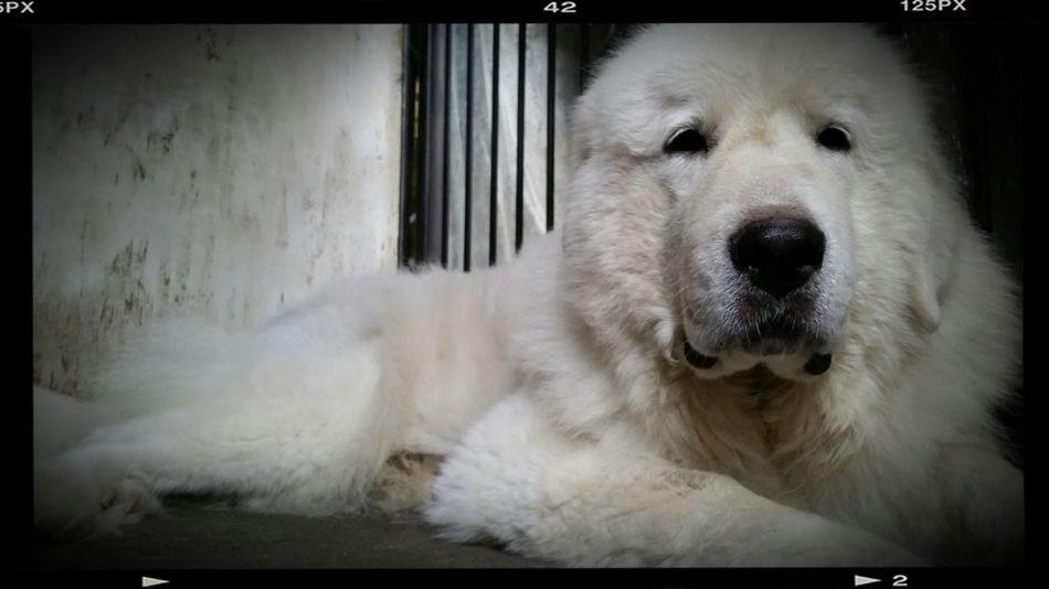 Dog Dog Love Greatpyreneese グレートピレニーズ