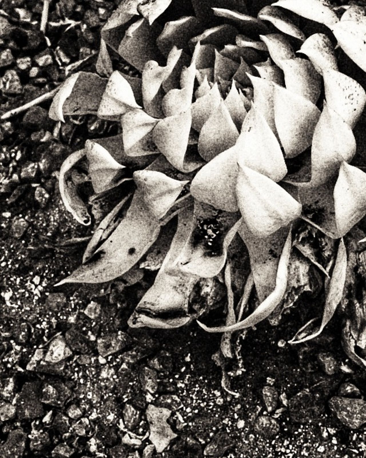 plant among the rocks Nature Outdoors Growth Close-up No People Beauty In Nature Day Flower Special Effects Black And White Collection Black And White Collection Donated To Johnson & Johnson Jonhson And Johnson Donation Collection Black And White ❤ Johnson & Johnson Donate To Help Black And White Photography Donation = Sharing Creativity Adopt To Save A Life Plant Beauty In Nature Nature