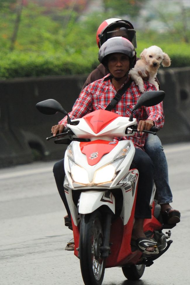 Casual Clothing Dog Focus On Foreground Helmet Land Vehicle Leisure Activity Lifestyles Men Mode Of Transport Motorcycle Motorcycle Motorcyle Real People Riding Road Selective Focus Street Street Photography Streetphotography Thai Transportation