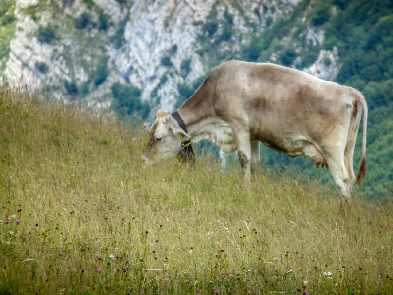 Animal Animal Themes Animale Animals Animals In The Wild Bergwelt Bergwelten Cow Day Dog Domestic Animals Gebirge Grass Kuh Latte Mammal Montagna Mountain Mucca Nature No People One Animal Outdoors Tier Tiere