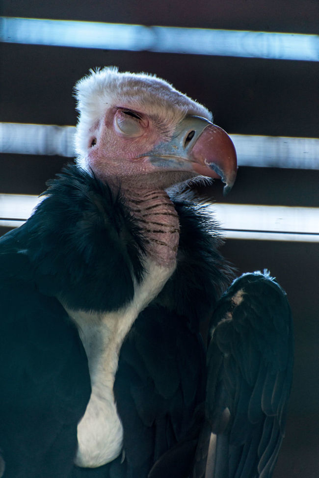 condor bird Animal Animal Body Part Animal Head  Animal Themes Close-up Cóndor  Day Focus On Foreground Mammal Nature No People Portrait