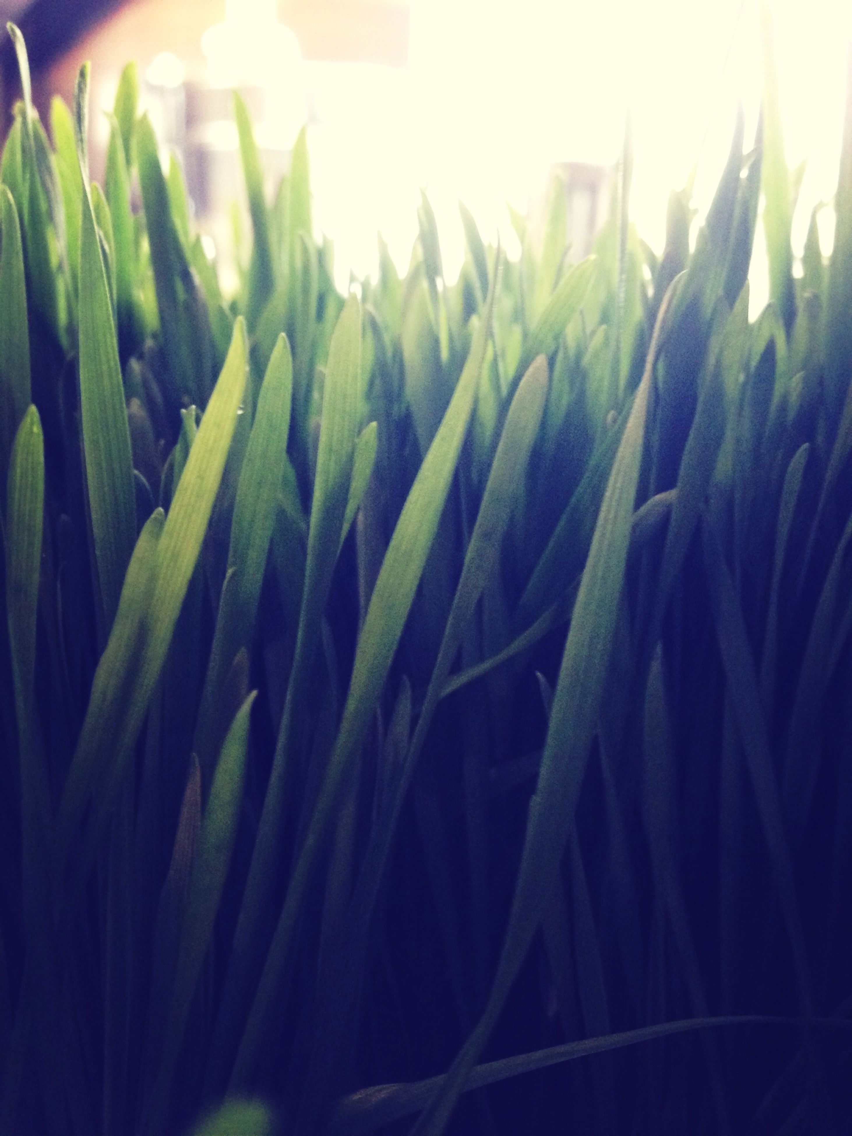 green color, close-up, growth, leaf, plant, nature, selective focus, focus on foreground, sunlight, beauty in nature, no people, green, outdoors, tranquility, freshness, field, day, lens flare, growing, detail